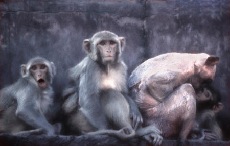A family of Rhesus Macaques monkeys in Varanasi, India. A sick mother is protecting the baby.